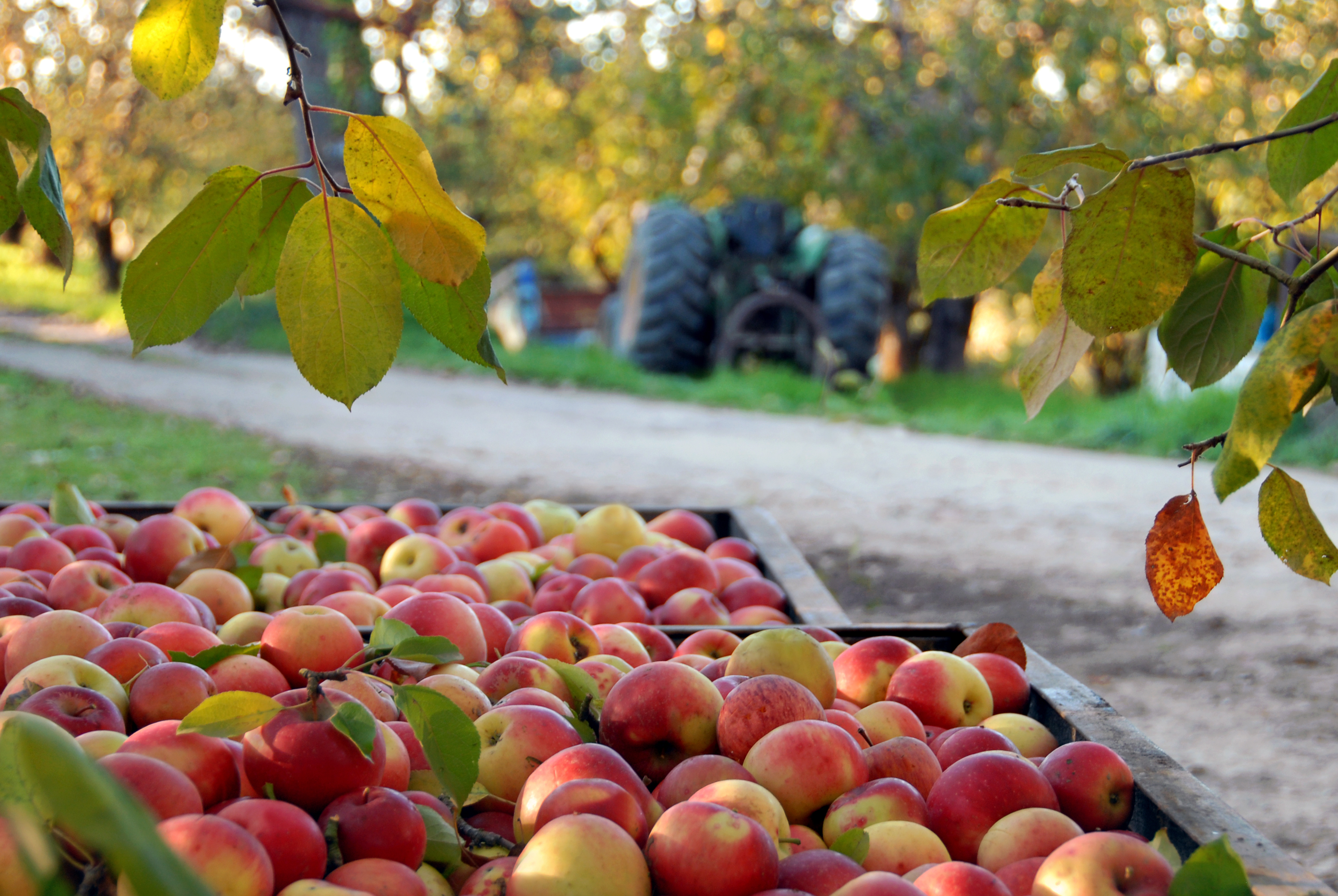 APPLES – Why You Should Always Buy ORGANIC